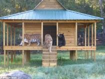 Lions, tigers, bears2
