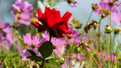 red-rose-in-the-breeze