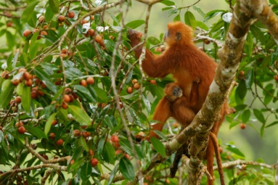 Red Monkeys and Fig