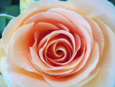 Cream Pink Rose