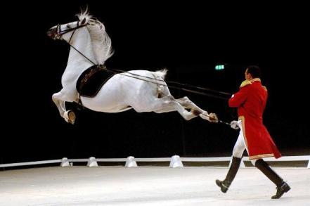 Lipizzan-Stallion-Show
